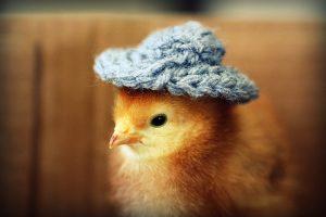 cute-chickens-l